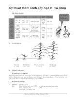 Tài liệu Kỹ thuật thâm canh cây ngô lai vụ đông docx