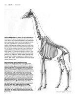 Tài liệu Figure Drawing - Giraffe - Camel - Hippopotamus ppt