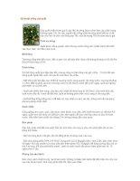 Tài liệu Kỹ thuật trồng cây quất pptx