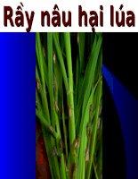 Tài liệu về rầy nâu hại lúa