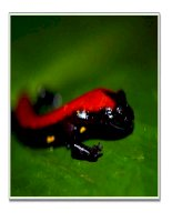 ba loài kì nhông Costa Rica