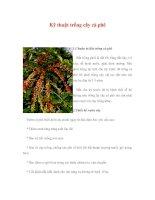 Kỹ thuật trồng cây cà phê