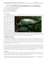 Một Số Đặc Điểm Sinh Học Của Cá Còm
