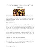Phòng và trị bệnh chảy nhựa vàng ở cây Măng cụt
