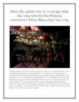 Tài liệu Nghiên cứu được thực hiện nhằm bước đầu tìm hiểu về vi-rút gây bệnh đầu vàng ở vùng Đồng Bằng Sông Cửu Long pot