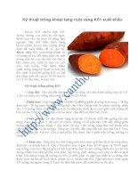 Kỹ thuật trồng khoai lang ruột vàng k51 xuất khẩu