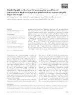Báo cáo khoa học: Atg8L/Apg8L is the fourth mammalian modifier of mammalian Atg8 conjugation mediated by human Atg4B, Atg7 and Atg3 docx