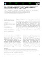 Báo cáo khoa học: The occurrence of riboflavin kinase and FAD synthetase ensures FAD synthesis in tobacco mitochondria and maintenance of cellular redox status docx