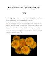 Bài thuốc chữa bệnh từ hoa cúc vàng pot