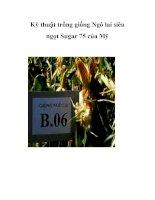 Kỹ thuật trồng giống Ngô lai siêu ngọt Sugar 75 của Mỹ pot