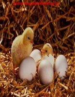 Từ trứng thành gà con