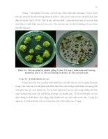 Luận văn : NGHIÊN CỨU KHẢ NĂNG CHUYỂN NẠP GEN CỦA HAI GIỐNG BÔNG VẢI SSR60F VÀ COKER 312 BẰNG VI KHUẨN Agrobacterium tumefaciens part 5 pptx