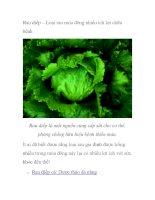 Rau diếp – Loại rau mùa đông nhiều ích lợi chữa bệnh potx