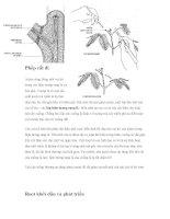 Phép cắt đi Auxin cũng đóng một vai trò trong các hiện tượng rụng lá và hoa ppt