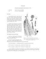Tài liệu về kỹ thuật trồng, đặc điểm sinh lý và phân bố của cây Phi Lao pot