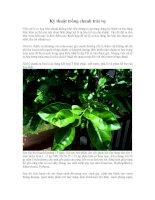 Kỹ thuật trồng cây chanh trái vụ