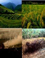 Ứng dụng nấm trichoderma trong sản xuất rơm rạ hữu cơ