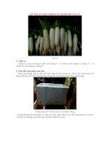 Kỹ thuật trồng và chăm sóc củ cải trong thùng xốp