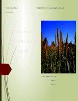 Bài thuyết trình giới thiệu về cây kê và quá trình sau thu hoạch