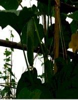 ThS.Phan Anh Thế: Bài giảng kỹ thuật trồng và chăm sóc dưa chuột