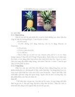 Kỹ thuật nhân giống, trồng chăm sóc cây dứa Cayen