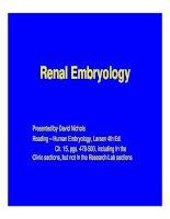 Renal embryo